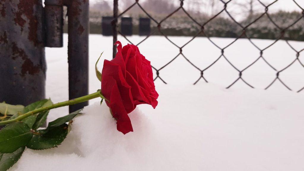 zum Gedenken an die in Auschwitz umgekommenen Opfer niedergelegte Rose